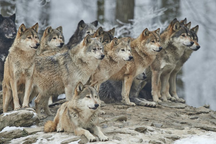 A pack of wolves in a forest.
