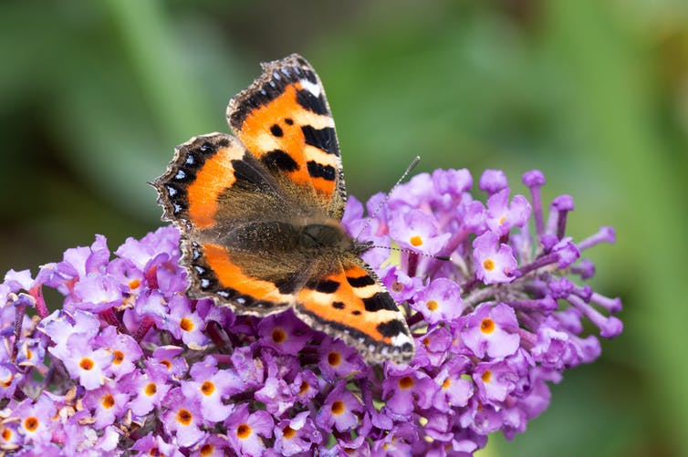 Tortoiseshell butterfly feeding on clustered purple buddleia flowers