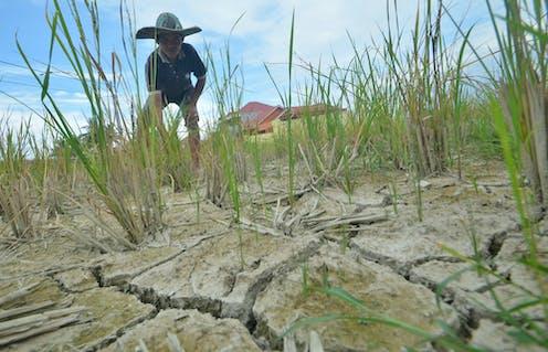 Seorang petani menunjukan padi yang rusak akibat gagal panen, di areal pesawahan.