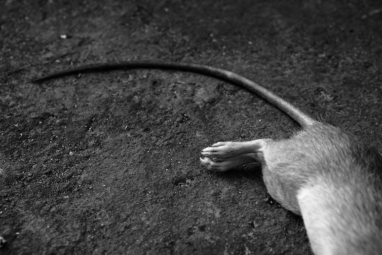 Dead rat's tail