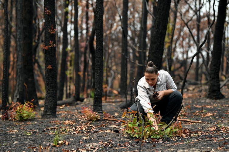 A woman tends to new growth in a burned forest.