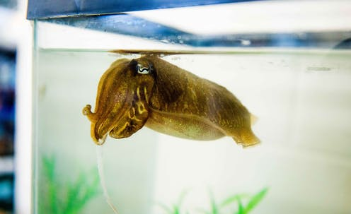 A brown cuttlefish in a tank