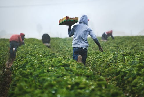 A picture of a farm workers harvesting. There are four people in the background hunched down over the crop. There is one person in the foreground in the middle walking with a box