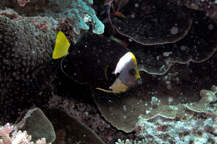 A small black fish with a yellow tail and a white band near its neck.