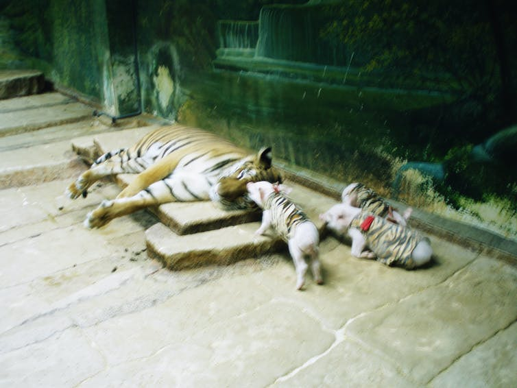 Piglets dressed as tigers in a cake with a large tiger.