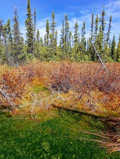 mosses, bushes and trees in a peatland