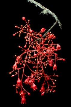 _Brachychiton acerifolius_ flowers.
