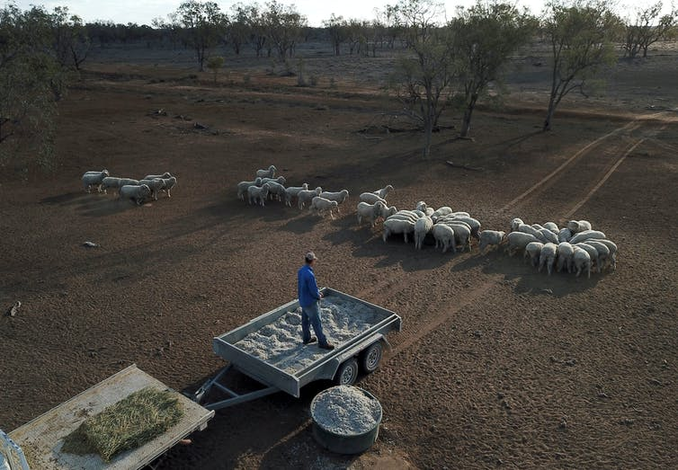 A farmer stands in a trailer, overlooking sheep on brown land