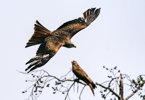 A bird-of-prey swoops in a clear sky with one perched on a tree behind.