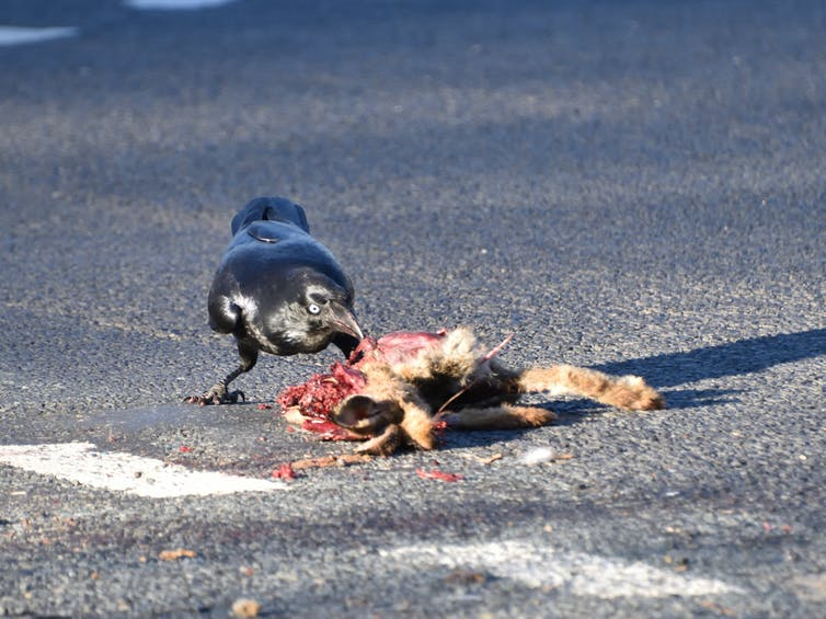 A raven picks at a rabbit carcass on tarmac.