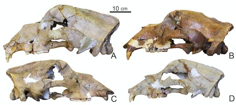 Quatre crânes d'ours des cavernes.