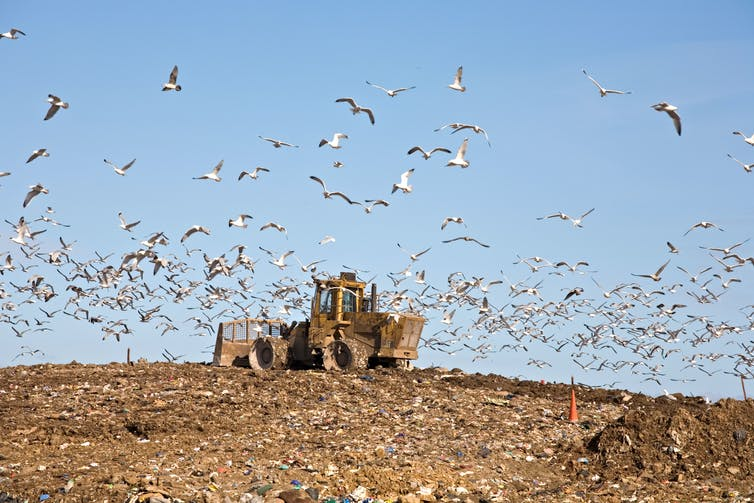 A tractor drives over a landfill site, gulls fly above