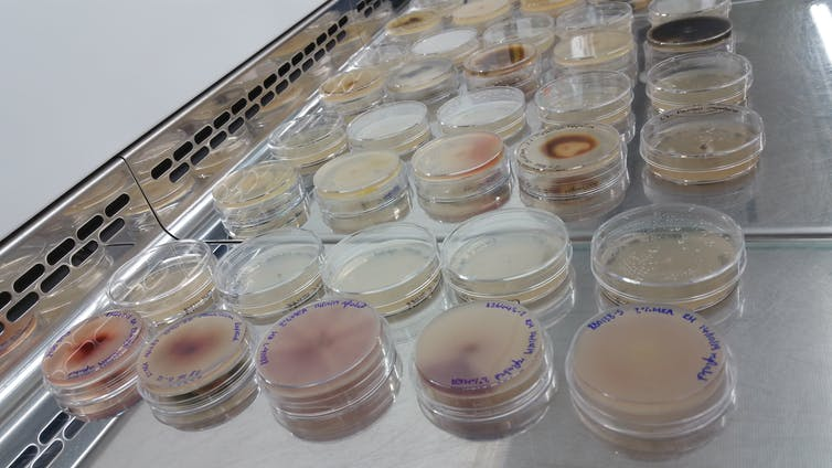 Fungal endophyte cultures.