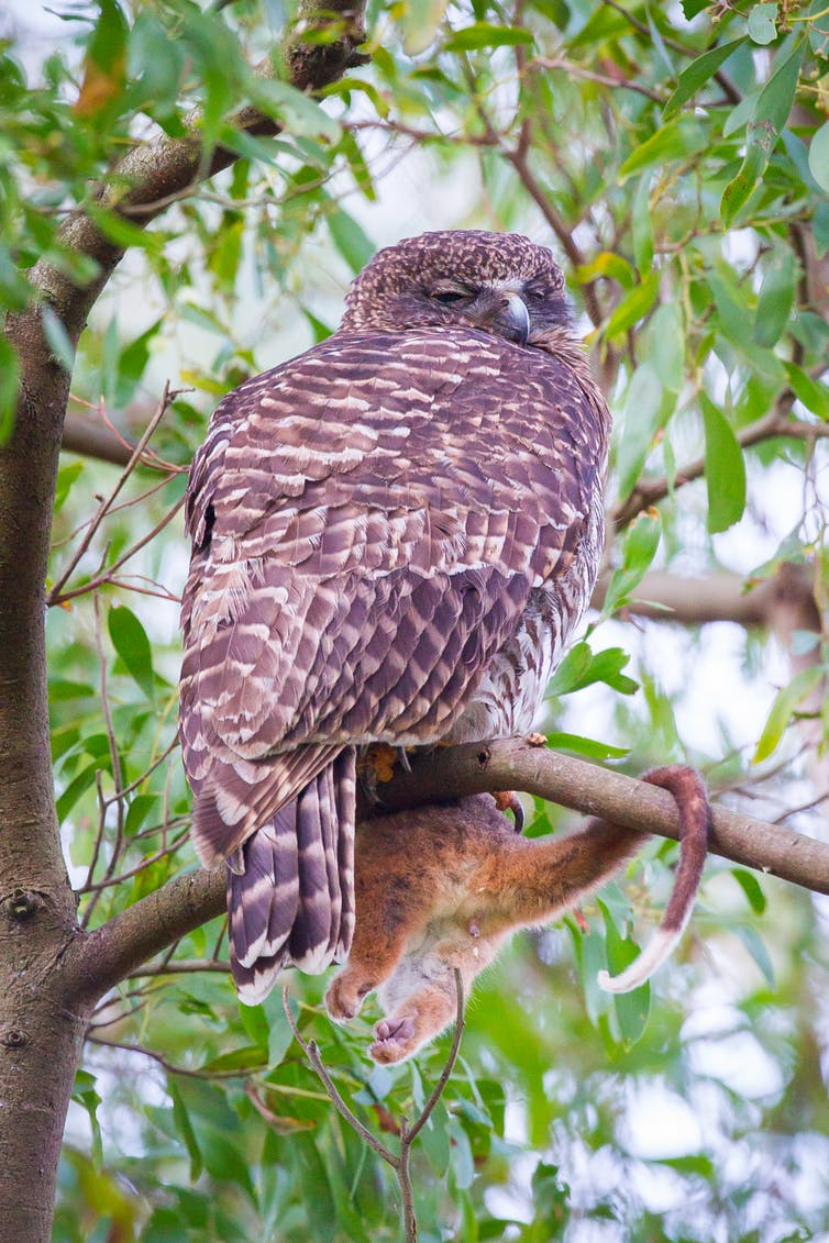 Powerful owl with half a common ringtail possum