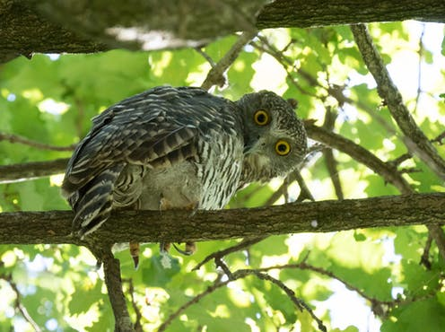 A powerful owl in tree canopy