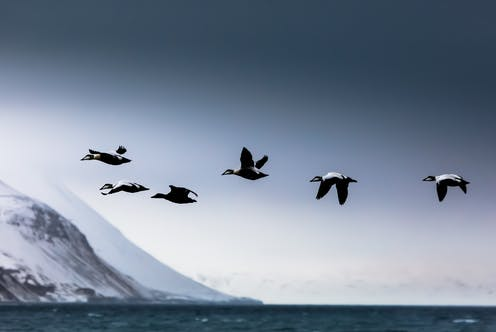 Six eider birds in flight over the ocean with snow-covered cliffs in the background
