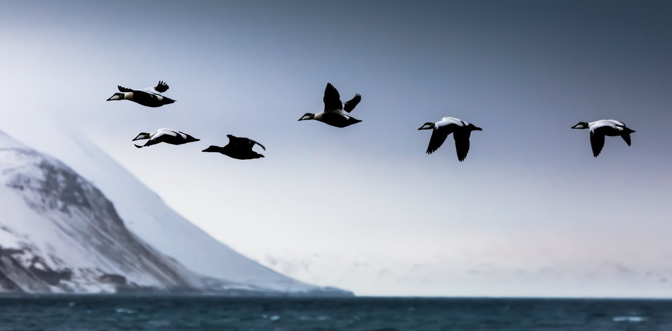 How Arctic sea ducks develop herd immunity from avian cholera