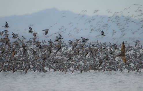A flock of birds flying over an estuary.
