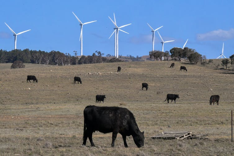 Cows graze in front of wind turbines
