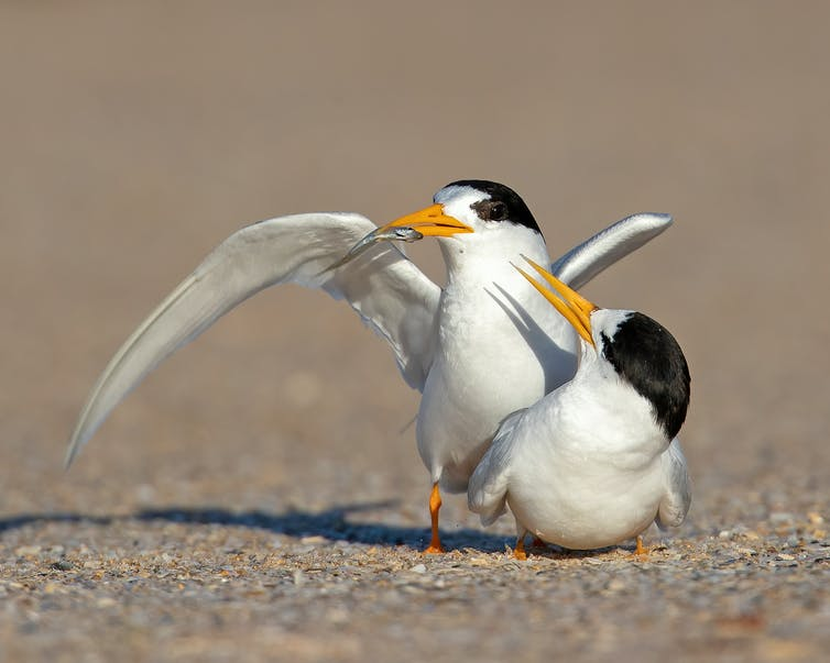 Courting pair of Fairy Terns on the beach