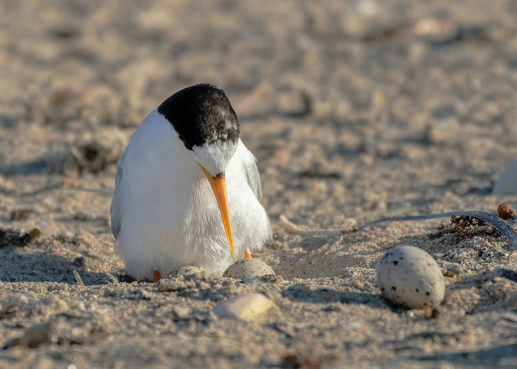 Fairy Tern sitting on eggs
