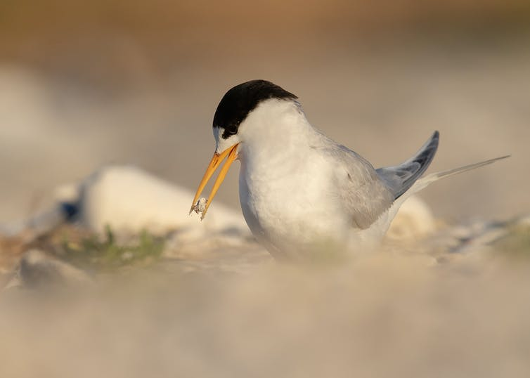An adult Fairy Tern moving shell material around the nest site to increase camouflage of the eggs.