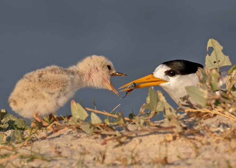Adult Fairy Tern feeding a chick