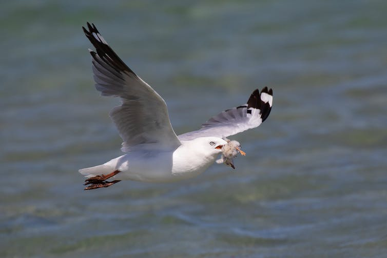 Silver Gull carrying away a Fairy Tern chick