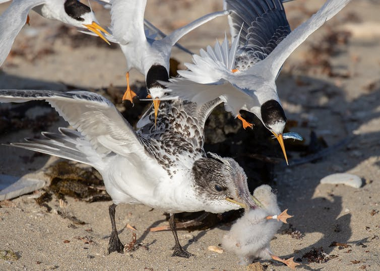 Adult Fairy Terns mobbing a juvenile Crested Tern