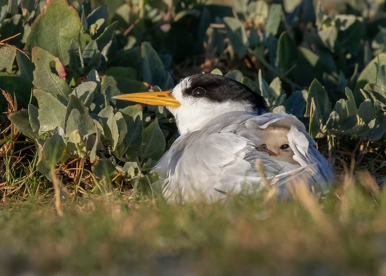 Fairy Tern chick being brooded by its parent.