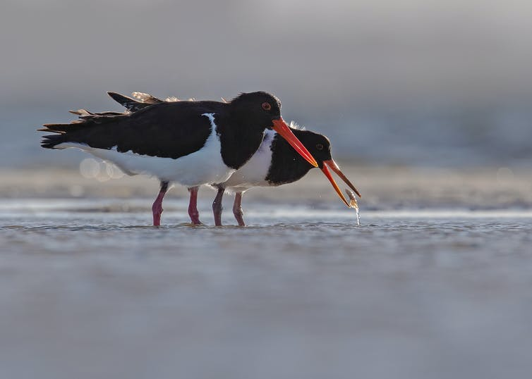 An adult Australian Pied Oystercatcher teaching its offspring to hunt for prey.