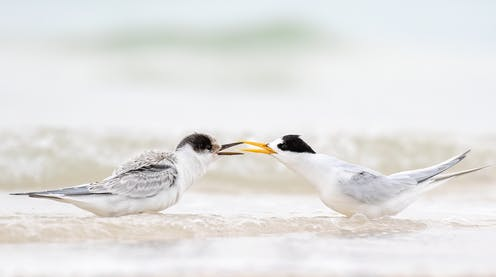 Two birds facing each other. An adult fairy tern is feeding a chick.