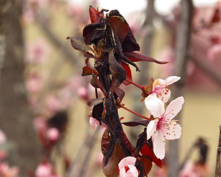 Cherry branch with blooms and wilted dark leaves.