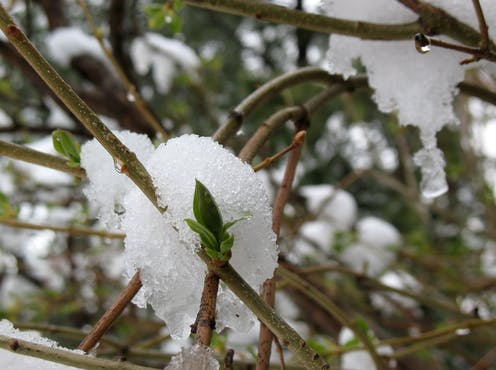 Green bud on lilac bush with snow on branches