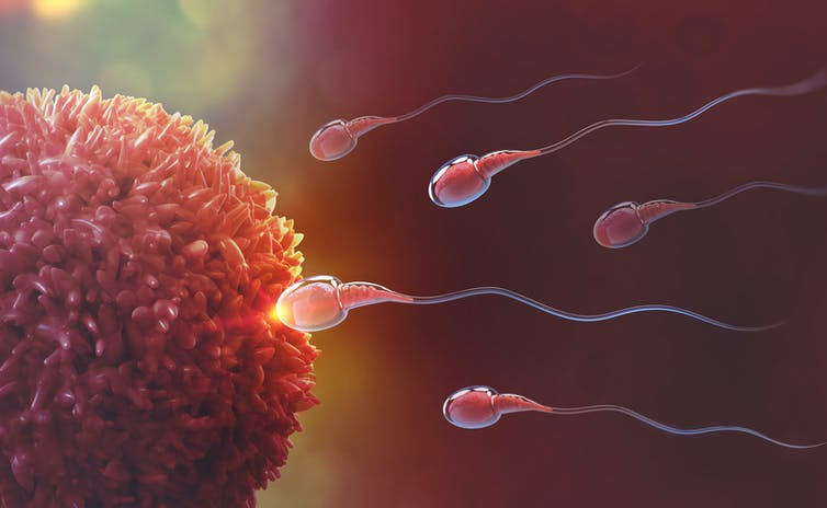 A graphic showing sperm swimming towards an egg cell.