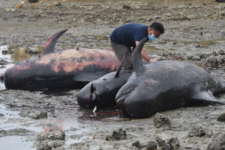 Pria memeriksa 3 individu paus pilot yang mati di pinggir pantai.
