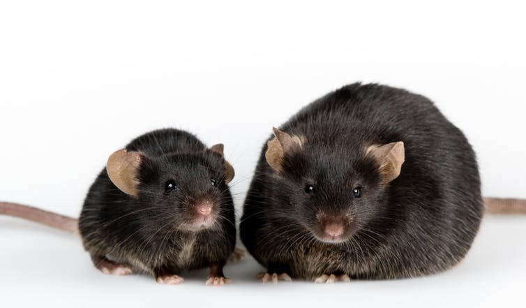 A fat black mouse and a skinny black mouse standing next to each other.