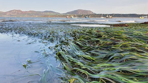 Seagrass at low tide in a harbour with boats in the background.