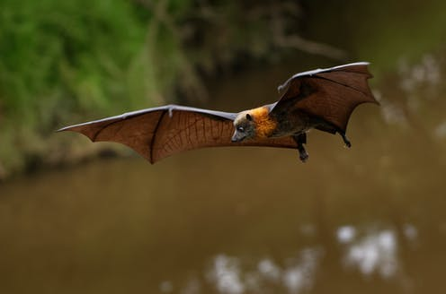 Fruit bats are the only bats that can't (and never could) use echolocation. Now we're closer to knowing why