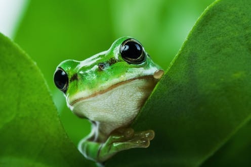 A green tree frog peaking out from behind a leaf.