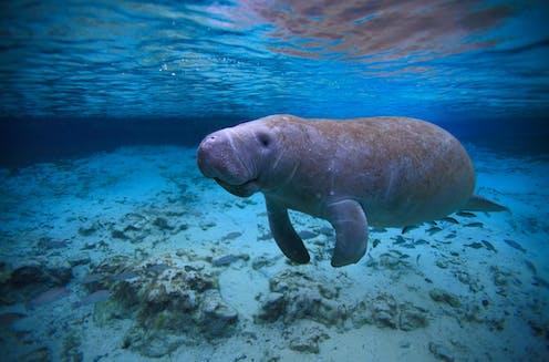 A Florida manatee