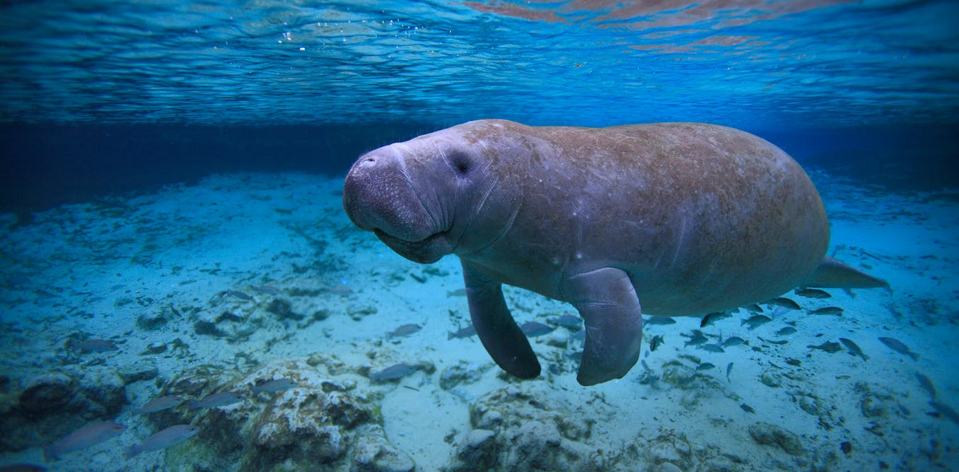 A manatee with 'TRUMP' scraped into its back was itself disturbing. But it reflects a deeper environmental problem