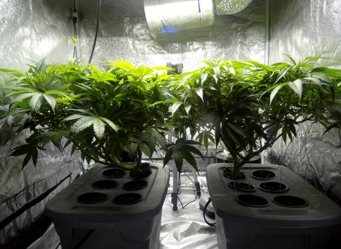 Two cannabis plants growing under a bright light.