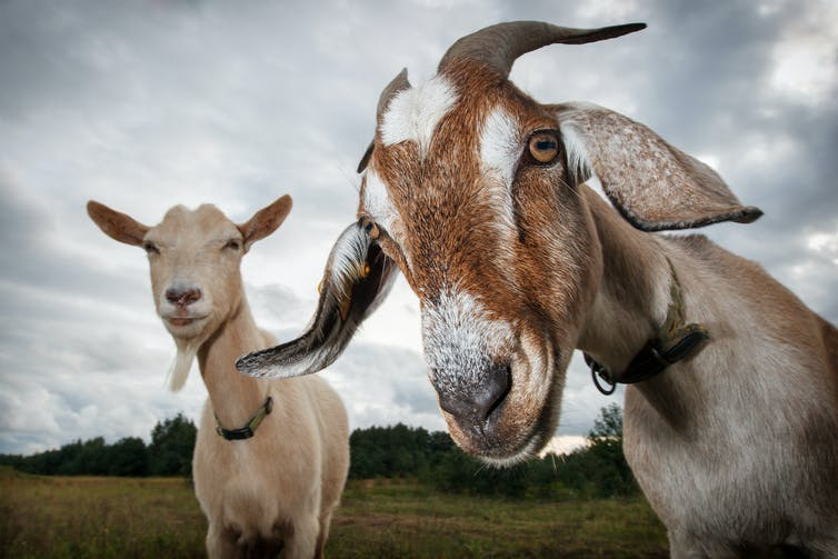 Two goats in a field.