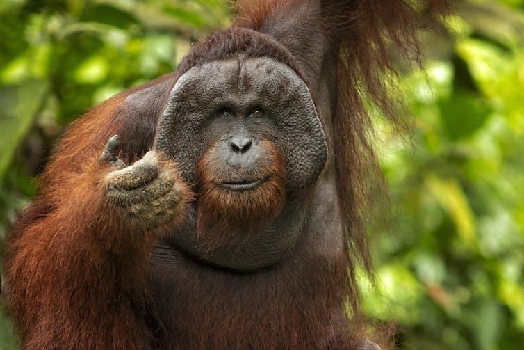 A large Bornean orangutan in its natural jungle habitat.