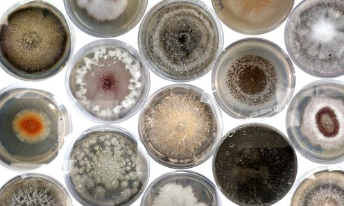 Series of petri dishes containing colourful cultures of fungi.