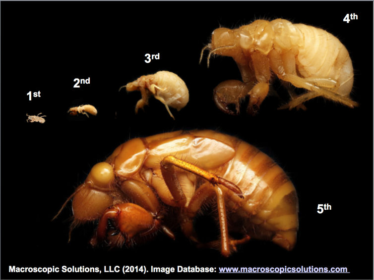 Five nymphal stages of cicada development.