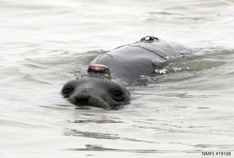 A female elephant seal swimming in the ocean with small tags on her head and back.