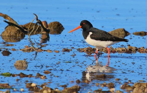 A South Island pied oystercatcher wading in water