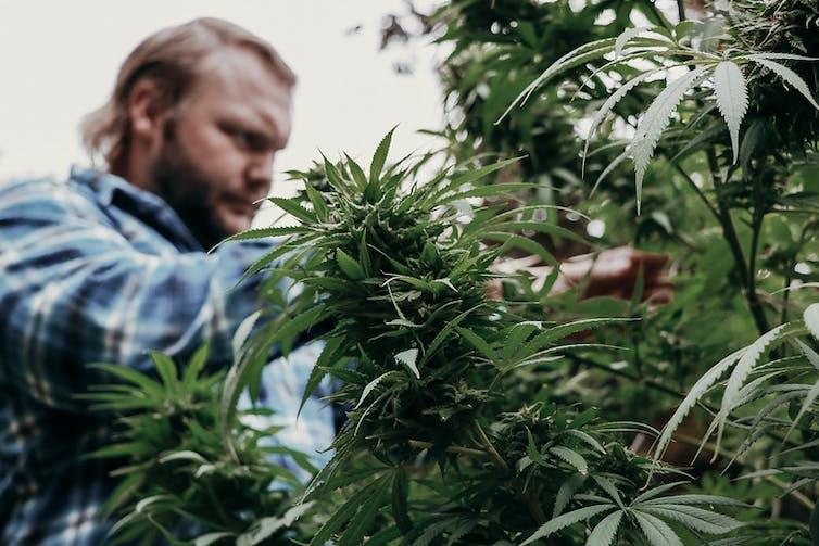 Man cultivating cannabis